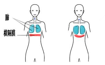 腹式呼吸、肺、横隔膜